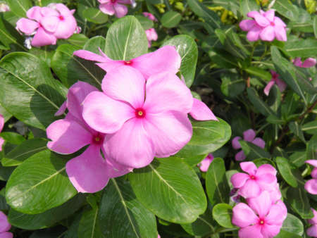 Madagascar periwinkle  photo