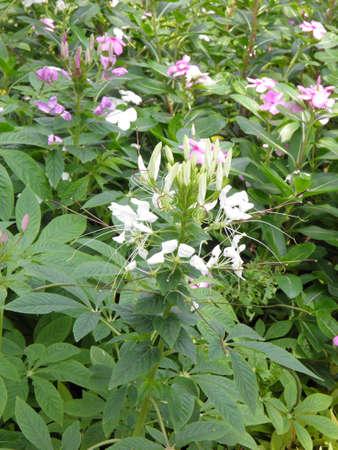 Spider flower Stock Photo - 18207821