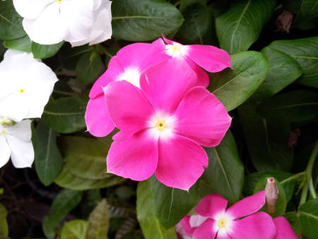 Madagascar periwinkle Stock Photo - 18288147