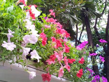 solanaceae: Petunia