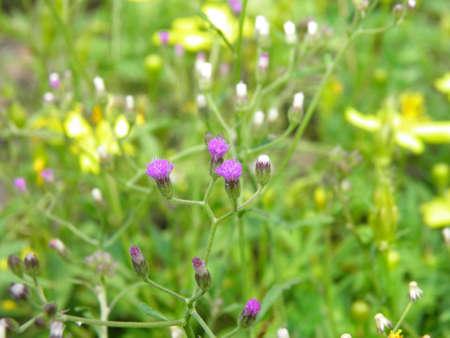 Purple grass flower