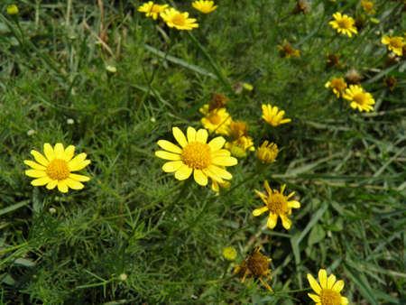 yeloow: Yellow Daisy