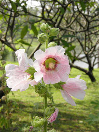 Hollyhock  photo