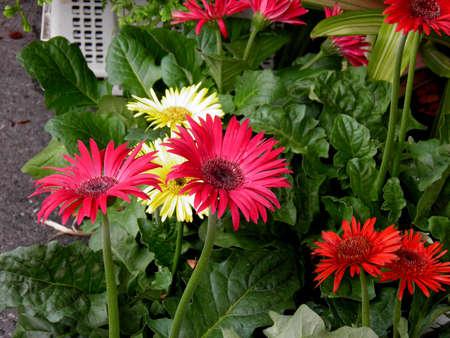 barberton daisy: Gerbera