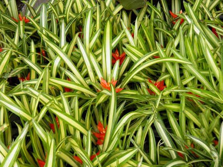 neoregelia:  Bromeliaceae