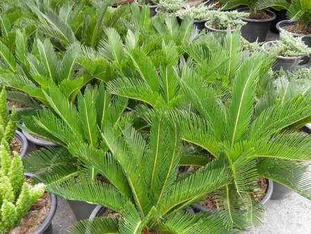 cycadaceae: CYCADACEAE