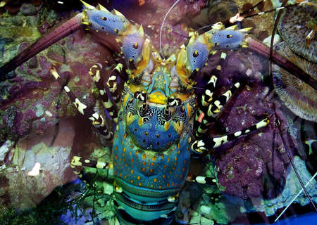 spiny lobster: Painted spiny lobster