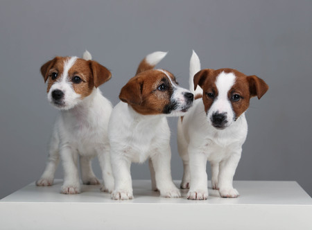 rape: Three jack russell babies. Close up. Gray background