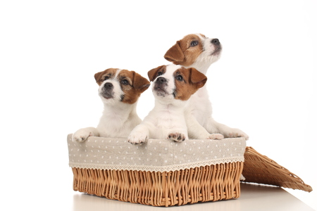 rape: Jack russell babies in the basket. Close up. White background