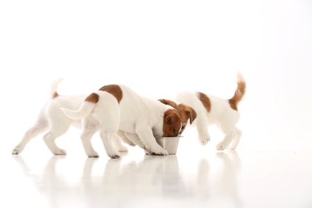 Three jack russell puppies eating from bowl. White background