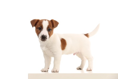 Small cool jack russell. White background