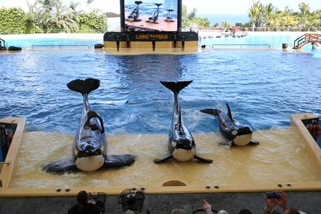 Three orcas in loro parque