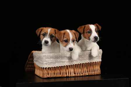 Small dogs in basket. Close up. Black background Stockfoto
