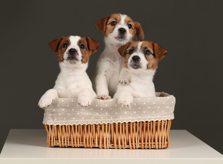 Cute jack russells in wicker basket. Close up. Gray background