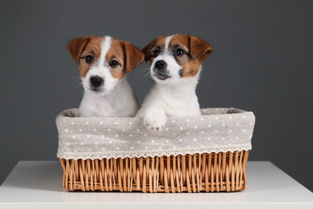 Two jack russells in the basket. Close up. Gray background
