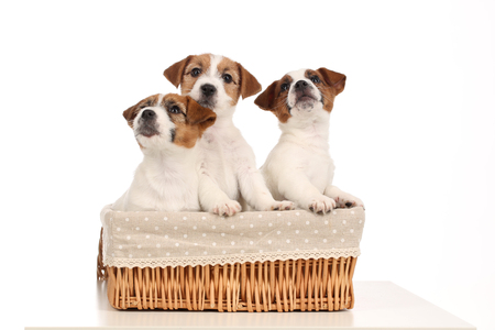 Tiny dogs in basket. Close up. White background Stock Photo