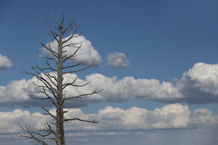 Tall dead tree in Arizona on blue sky background