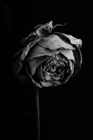 Lush rose in the dark. Black and white