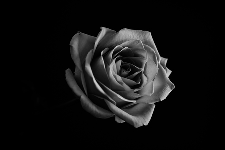 Roses blossom in black and white. Close up