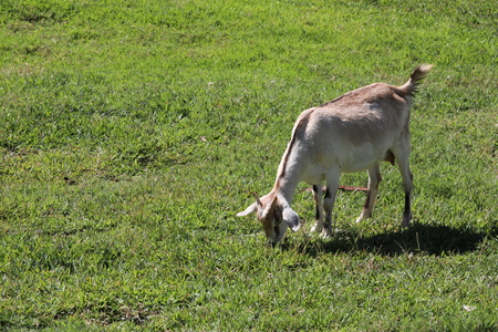 Adult goat grazes on a meadow