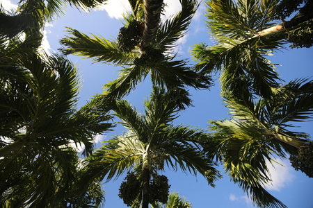 Bottom view of the branches and leaves of palm trees against the sky with clouds