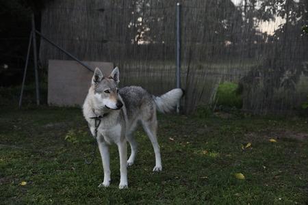Siberian husky dog standing in the yard.