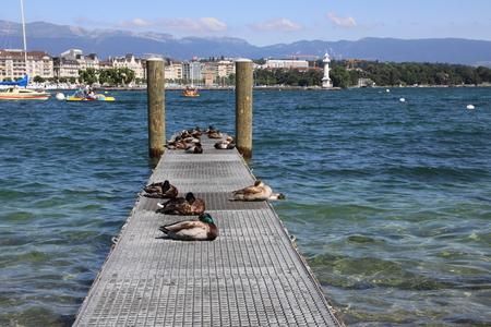 Ducks relax on a wooden pier on the background of the Geneva Embankment Banco de Imagens