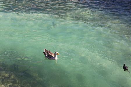 Azure lake with duck Banco de Imagens