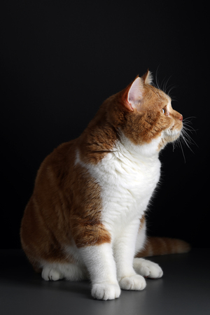 red male cat, walking towards camera, isolated in black Banco de Imagens