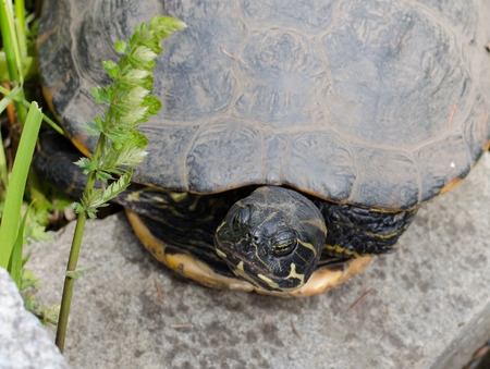 the water striped turtle lies on a stone