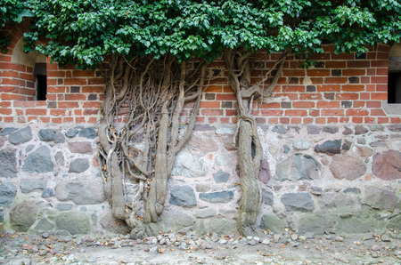 Tree with green leaves is growing on the brick wall background; Old tree trunk is leaning on the orange brick wall; tree trunk cover the old stone wall. Malbork Teutonian castle. Editorial