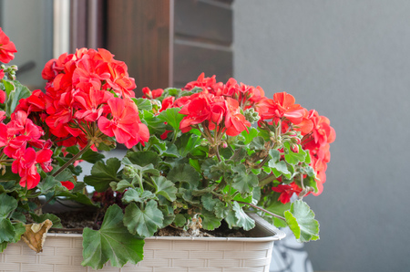 Plant Pelargonuim with flowers, in a plastic pot, on the balcony.