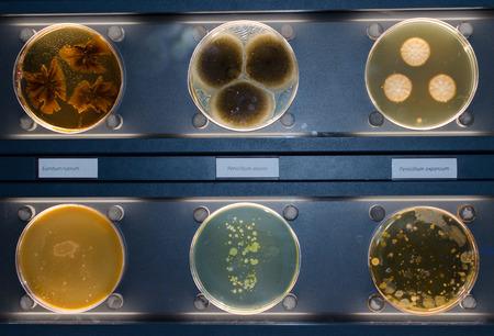 Fungus Penicillium olsonii, Penicillium expansum and Eurotium rubrum. . Stock Photo