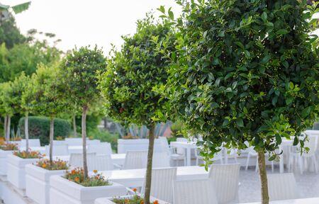 Bay trees before flowering border outdoor reatauraunt terrace. row of Laurel trees.