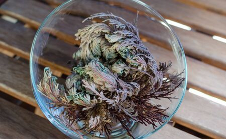 Rose of Jericho (Anastatica hierochuntica) plant in glass bowl. It starting to open.