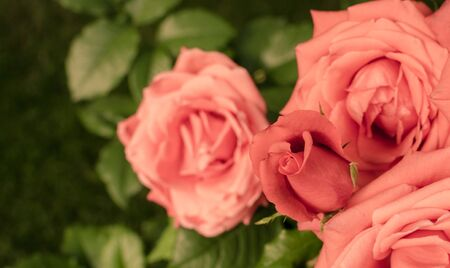 Bunch of pink coral roses in the garden. Vintage rose background. Top view. 版權商用圖片