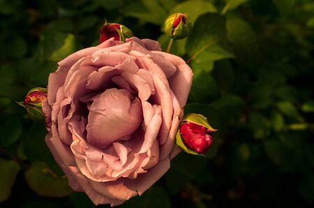 Garden with fresh pink roses with black backdrop, floral natural hipster vintage background