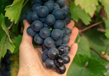a bunch of ripe blue grapes hanging on a vine in a womans hand. Close up.