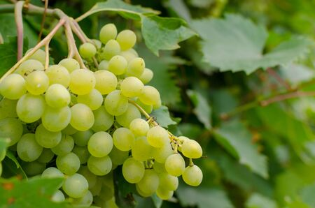 Vineyard ripe white grapes in autumn harvest season. Close up.