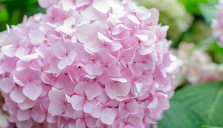 pink hydrangea against green leaves in the garden. macro. Floral background with pink flowers. Close up.