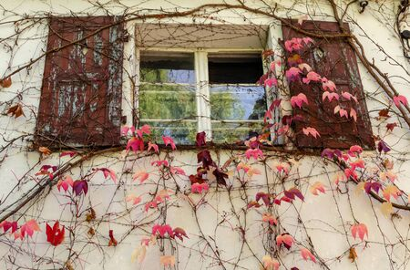 View of old house facade with wooden window and obsolete red shutters. Beautiful pink grape leaves (Parthenocissus tricuspidata) curl on the wall.