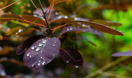 Purple leaves of cotinus coggygria with waterdrops in summer. Close up, selective focus. 版權商用圖片