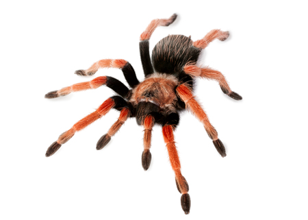 Spider Brachypelma boehmei isolated on white