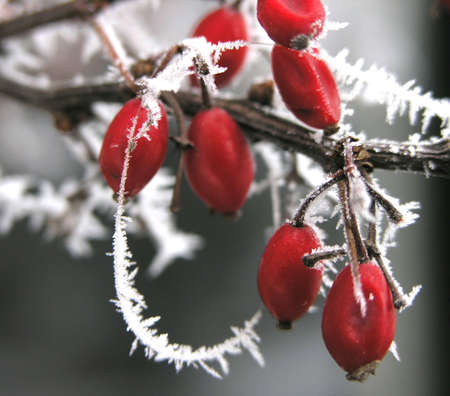 hoarfrosted berries photo