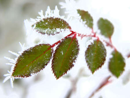 hoarfrosted leaves Stock Photo