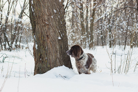 hunting cocker spaniel: Brown dog cocker spaniel standing in the snow