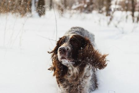 hunting cocker spaniel: Brown dog cocker spaniel walks by the snow