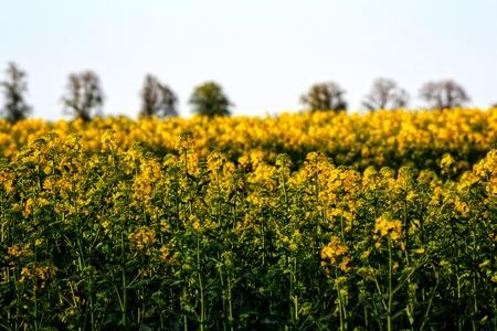 colza: colza farmland