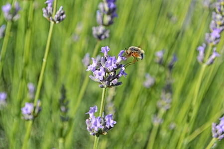 grass flower: The long-nosed bee fly sitting on a lavender flower in a garden. Stock Photo