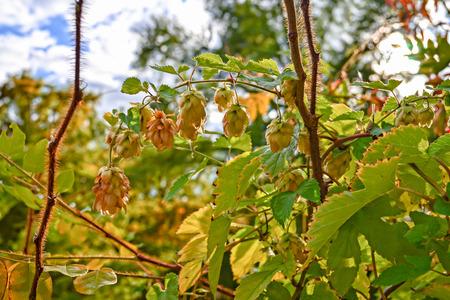 hop plant: hop plant